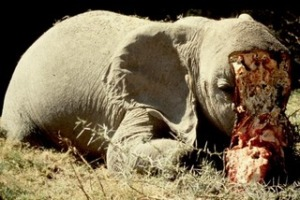 elephant slaughtered