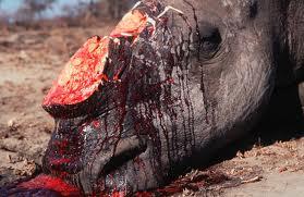 slaughtered rhino