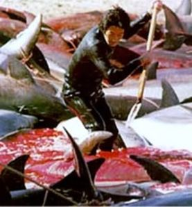 Slaughtering innocent dolphins in the name of greed