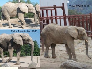 Thika healthy at Toronto Zoo then gravely ill four days after arriving at PAWS