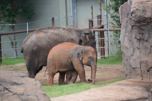 Woodland Park Zoo's Bamboo and Chai integrated with multi-generational herd in less than three months